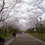 おゆみ野さくら公園(周辺)